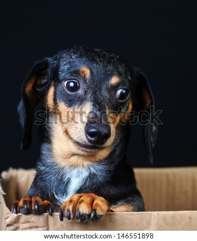 Head shot of cute shorthair dachshund with black, brindle & white fur looking out from cardboard box