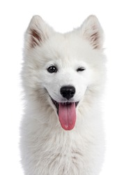 Head shot of cute white Samojeed dog pup. Winking at camera with dark shiny eyes. Isolated on white background. Tongue out of mouth.