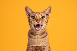 Head shot of handsome adult male Ocicat cat, sitting up facing front. Looking  towards camera, with mouth open screaming. Isolated on a solid orange yellow background.