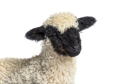 Head shot of Lamb Blacknose sheep three weeks old, isolated on white