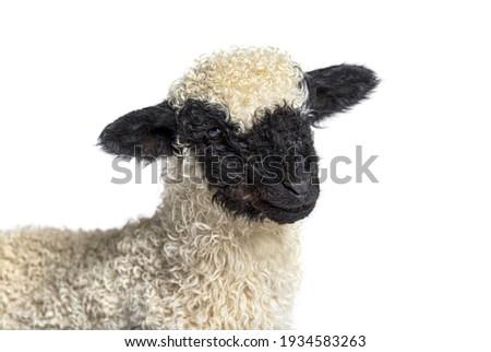 Head shot of Lamb Blacknose sheep three weeks old, isolated on white Stock photo ©