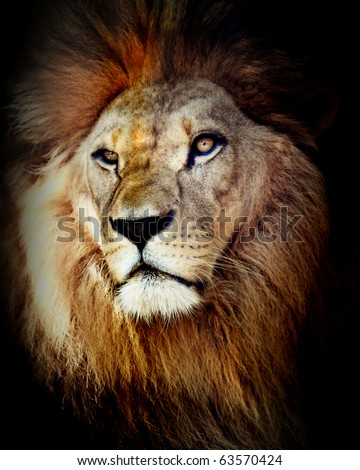 Head shot of lion