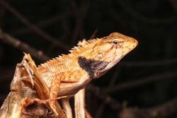 Head shot of the oriental garden lizard, eastern garden lizard or changeable lizard (Calotes versicolor) with selective focus.