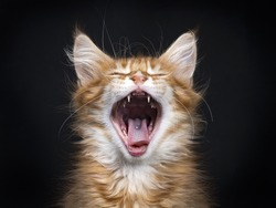 Head shot of yawning red tabby with white  Maine Coon kitten (Orchidvalley) sitting on black background