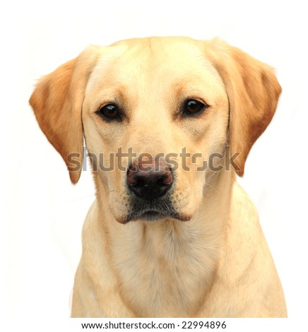 Head shot of yellow labrador