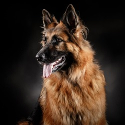 Head shot portrait of a beautiful german shepherd on a dark grey background with tong out of the mouth