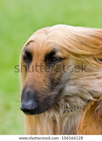 Head shot portrait of Afghan hound. (Copy Space.)