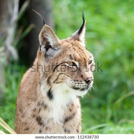 Head Shot Portrait of Eurasian Lynx against Greenery