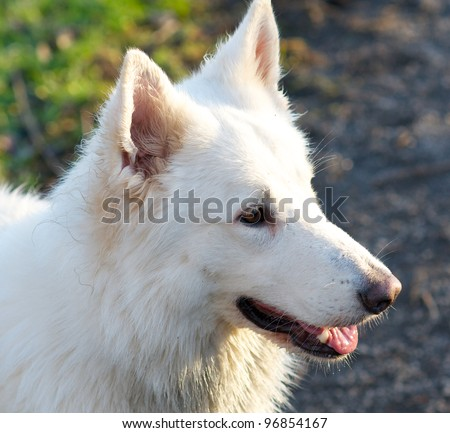 head shot white belgian sheepdog
