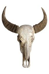 Head skull buffalo carabao isolated on white background