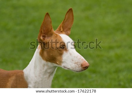 Head study of Ibizan Hound, ears erect and to attention #17622178