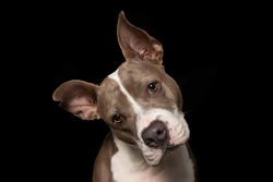 head tilt by dog in shelter. pitbull waiting for a forever home
