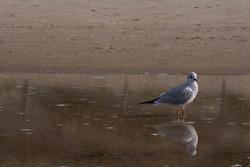 Headed Gull (Chroicocephalus ridibundus) in the water on the beach.