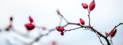 Header for facebook social media cropped for  covers. Wild rose hip shrub. Scales down to fit header size.