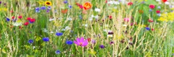 Header with wild herbs and colorful wildflowers, natural and native gardening