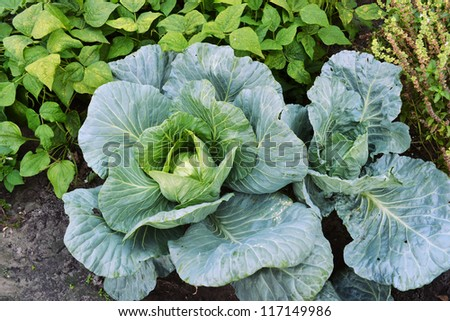 heads of cabbage growing on a vegetable garden