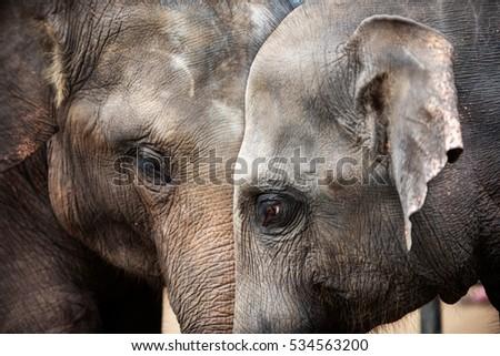 Heads of elephants in Sri Lanka  Stock fotó ©