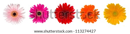 heads of gerbera flowers isolated on white background