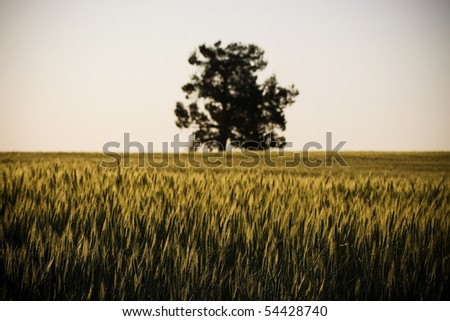 Heads of golden grain stretch out in fields at sundown