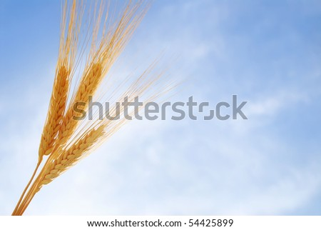 Heads of wheat against the sky