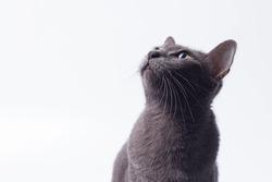 Headshot gray cat looking up isolated on white background. Korat cat