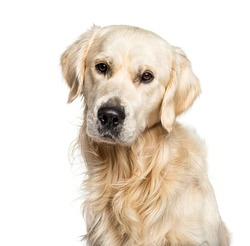 Headshot of a Golden Retriever, isolated on white