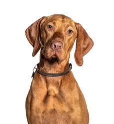 Headshot of a Vizla dog, isolated on white