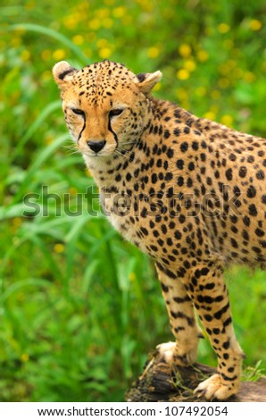 Headshot of Cheetah (Acinonyx jubatus soemmeringii). The cheetah achieves by far the fastest land speed of any living animal�between 70 and 75 mph in short bursts covering distances up to 1,600ft.