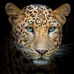 Headshot of jaguar portrait.