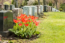 Headstones in a cemetery with many red tulips