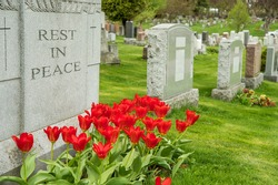 Headstones in a cemetery with red tulips and