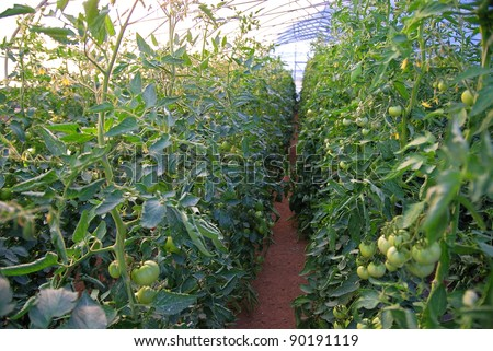 healh vegetable in the wide glass greenhouse