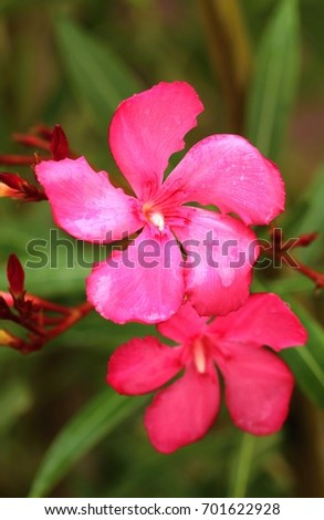 healing nerium oleander ez canvas