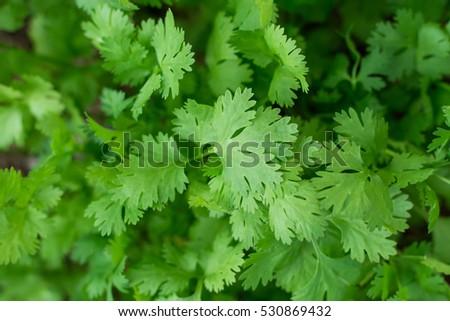 Health benefits of coriander. Coriander is loaded with antioxidants #530869432