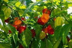 Health plant of chilli pepper