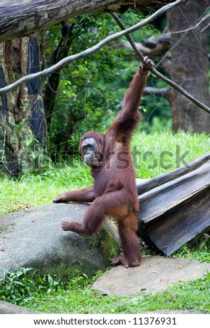 Healthy adult orangutan in a zoo.