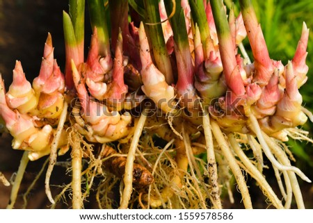 Healthy and Growing ginger field crop concept. bourgeon or sprout on fresh Ginger. Vegetatively propagatedfrom small sections of the rhizome. Fresh gingers. Photo stock ©