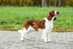Healthy and happy dog of the Welsh Springer Spaniel breed. Purebred, purebred dog stands outside on a sunny day
