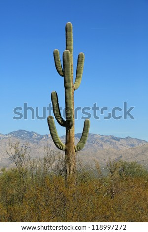 Healthy and old Saguaro Cactus in the Saguaro National Park East