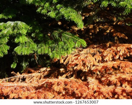 Healthy and sick fir, spruce. Green brown needles. Dead, dry brown withered branch among green vegetation, problems with care of ornamental plants, climate change, autumn, death of plants #1267653007