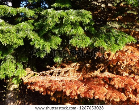 Healthy and sick fir, spruce. Green brown needles. Dead, dry brown withered branch among green vegetation, problems with care of ornamental plants, climate change, autumn, death of plants #1267653028