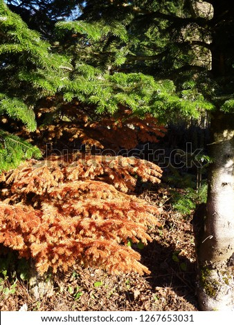 Healthy and sick fir, spruce. Green brown needles. Dead, dry brown withered branch among green vegetation, problems with care of ornamental plants, climate change, autumn, death of plants #1267653031
