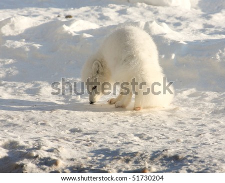 Healthy arctic fox in the snow,sniffing for food