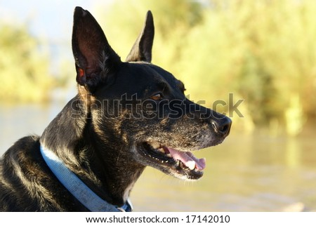 Healthy black dog head shot showing healthy teeth and gums, eyes, and ears. Outside with muted lake background.