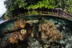 Healthy corals grow in the shallows fringing a mangrove forest in Raja Ampat, Indonesia. This area is known as the