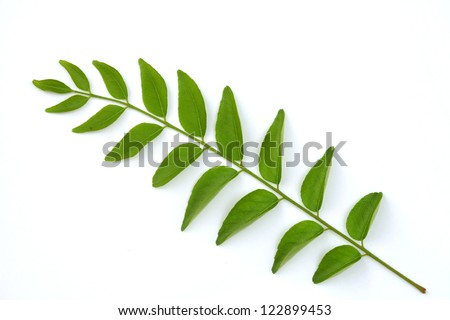 Healthy curry leaves herb on white  background - stock photo