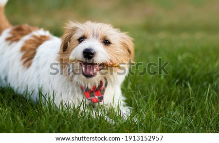 Healthy cute happy pet dog chewing dental snack treat, cleaning plaque from his teeth. Tartar prevention concept. Photo stock ©