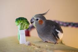 Healthy happy female cockatiel eating broccoli on top of cage