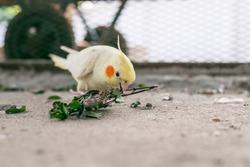 Healthy happy female cockatiel eating food