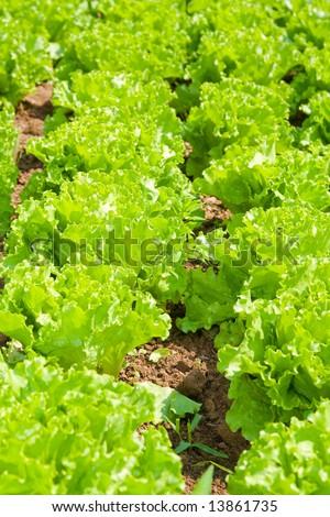 Healthy home lettuce in rows in garden.